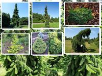Хвойные деревья фото