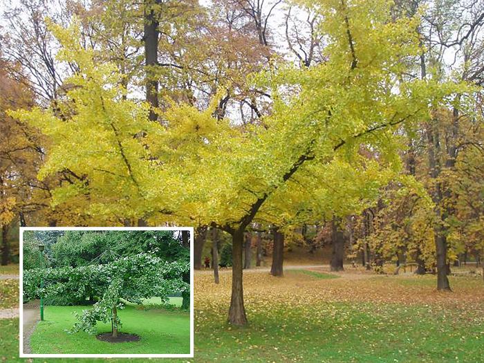 Гинкго билоба дерево выращивание в подмосковье 28