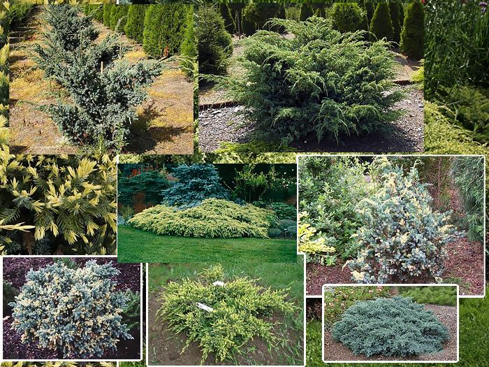 Садовые кустарники фото и названия по алфавиту
