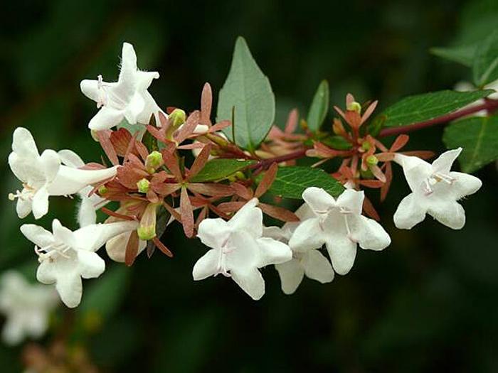 все о цветах комнатных денежное дерево