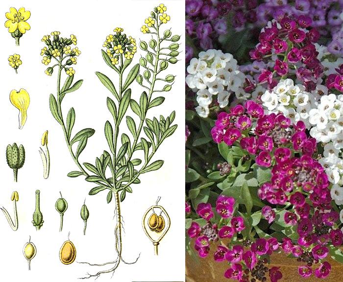Цветы на букву б садовые