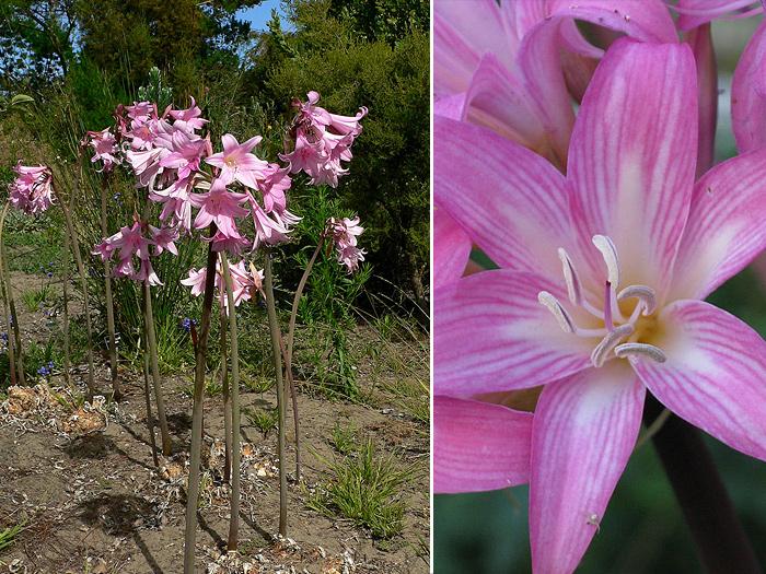 многолетние луковичные цветы названия и фото