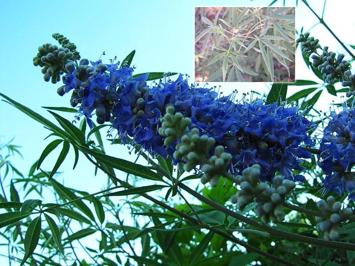 виды цветущих кустарников фото и название