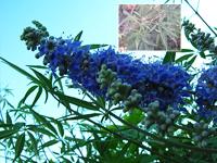 Фото Авраамово дерево (Прутняк обыкновенный, Витекс священный, царь - дерево